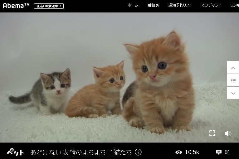 pet あどけない表情のよちよち子猫たち