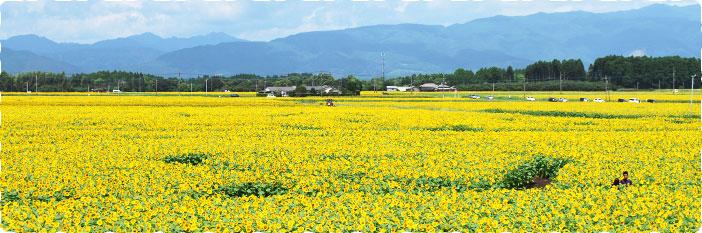 ひまわりが日本一咲きならぶ古墳の街